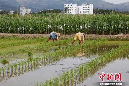 图为海南三亚的南繁育栽。(原料图片) 王晓斌 摄