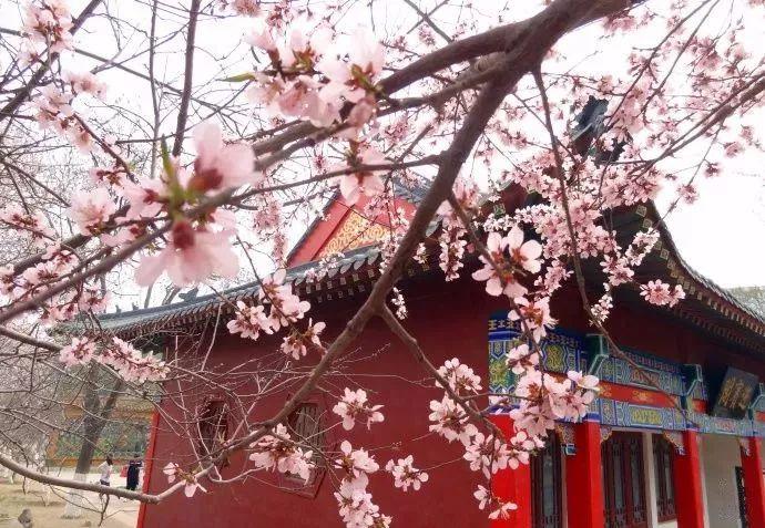天津市桃花堤在哪_再过半个月,天津将成为全国最美的城市!错过等一年!|天津 ...