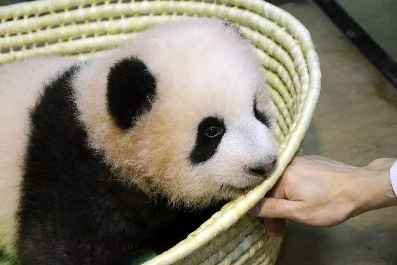 """▲在上野动物园降生的大熊猫宝宝""""香香"""""""