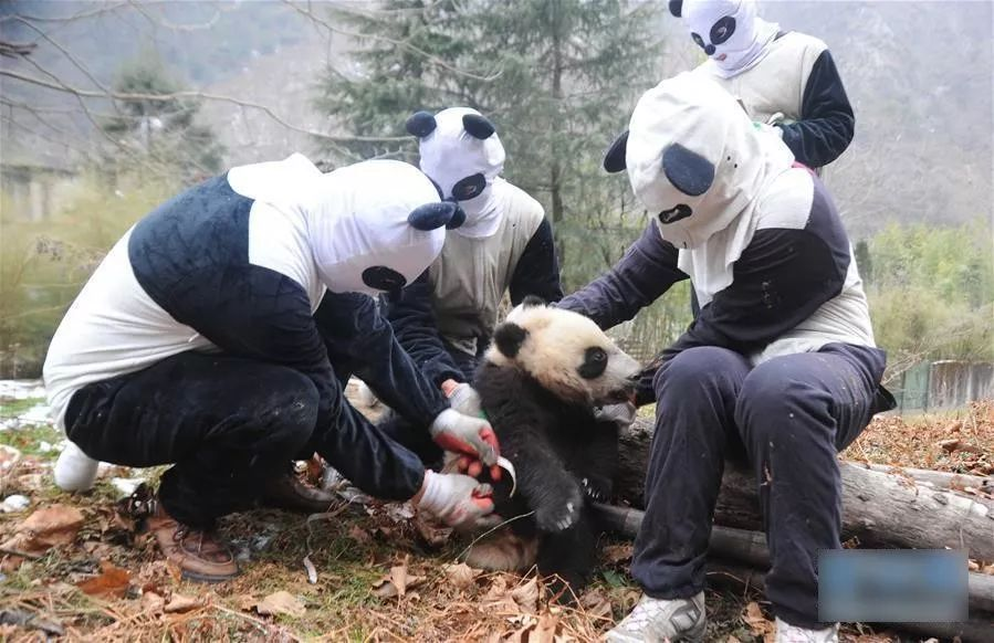 ▲在野化训练中,工作人员伪装成大熊猫。但这也只能骗骗熊猫吧……