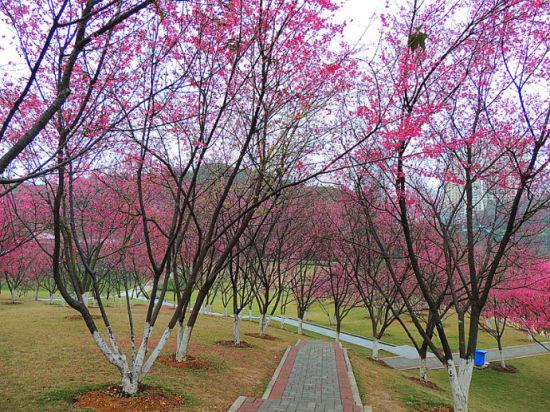 石門森林公園內的櫻花小道 圖:新浪博主:@石枬