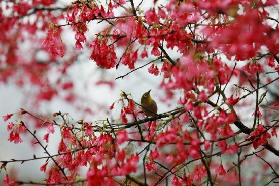停落在櫻花樹枝頭上的鳥 圖:新浪博主:@老駱駝