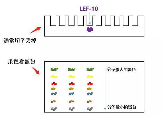 LEF-10出现在浓缩胶中(示意图)。Nekout绘制。
