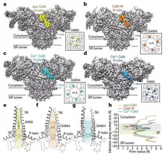 RyR2-CaM复合物的Cryo-EM结构