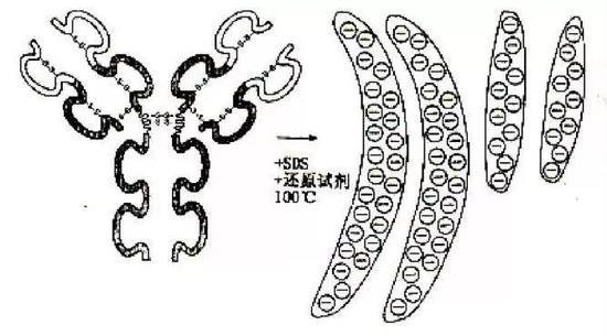 """蛋白质样品在100℃用SDS处理后变为带电荷的""""圆棒"""""""