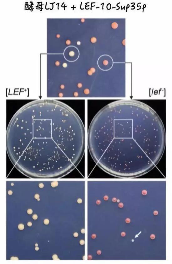 利用酵母系统验证病毒中的朊病毒。图片来源:参考文献[1]