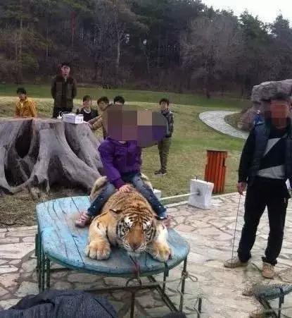 长春东北虎园把老虎绑在木板上,边抽打边强制老虎与游客相符影 / 央视消息