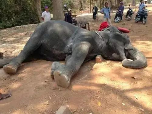 柬埔寨吴哥窟有只大象由于不堪永远载客,在大太阳底下炎枯竭而物化 / 中国网