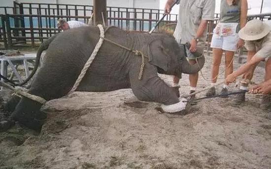 """你骑的每一头""""温驯""""的大象,背后都藏着一段血腥的去事。"""