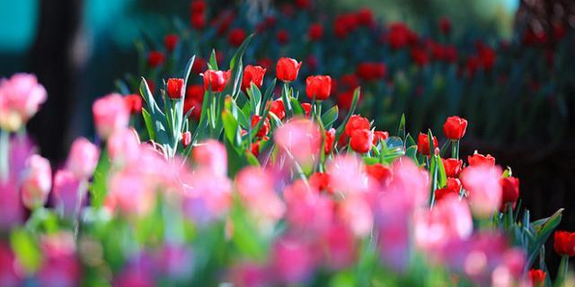 郁金香的花季