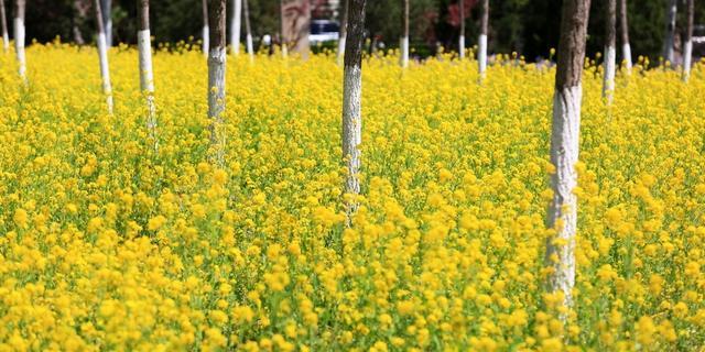 京郊百亩油菜花海美爆了