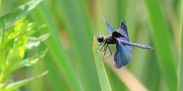 蜻中妖孽:黑丽翅蜻